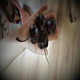 체리나무(도니센스)접목1년특묘|