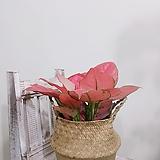 아글레오네마지리홍 신품종 (쌍대) +라탄바구니|