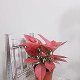 아글레오네마지리홍 신품종 (쌍대)|