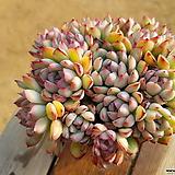 황홀한연꽃 (중품)(목질)(자연군생) 1101 0216 Echeveria pulidonis