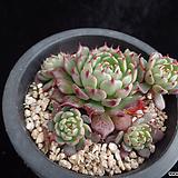 미니왕비황317|Echeveria minima cv. Miniouhikou