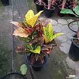 크로톤 Codiaeum Variegatum Blume Var Hookerianum