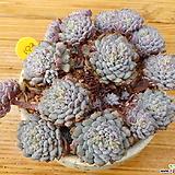 묵은 룬데리 자연군생|Echeveria setosa v deminuta