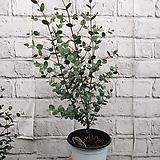 유칼립투스/공기정화식물