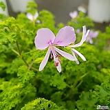 외목대 핑거볼제라늄(레몬향)/허브/핑거볼(중품)|Geranium/Pelargonium