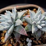화이트그리니 2-819|Dudleya White gnoma(White greenii / White sprite)