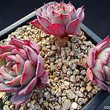 라우렌시스 2-822|Echeveria Laulensis