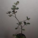 가시잎 상록도토리나무|