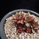 아즈타트랜시스334|Echeveria longissima var aztatlensis