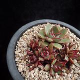 아즈타트랜시스2424|Echeveria longissima var aztatlensis
