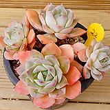 묵은 펀퀸|Echeveria fun queen