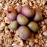 코노피튬 (소형종)|Conophytum
