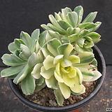 애연금군생 2240|Aeonium domesticum fa Variegata
