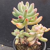 애심 2280|Sedum pachyphyllum thin blue form