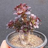 흑법사군생 2229|Aeonium arboreum var. atropurpureum