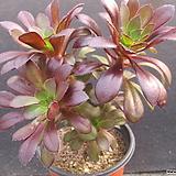 흑법사군생 2231|Aeonium arboreum var. atropurpureum