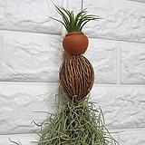 봄신상 코코넛 수염틸란드시아 Tillandsia