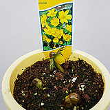 노랑바람꽃(노랑너도바람꽃)/바티칸바람꽃|