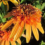 에키네시아 겹꽃 마멀레이드|