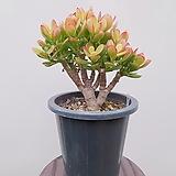 칼라염좌 (포트) 中 나-43 인테리어식물 공기정화식물