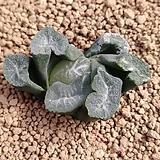 화릉 만상 (뿌리 무)|Haworthia maughanii