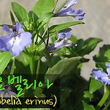 로벨리아 스카이블루(Lobelia skyblue) 지름 10cm 소품 허브화분 (단독주문시 5000원 이상주문가능)|Hub