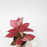 지리홍 아글레오네마 아글레오마 수경재배 실내식물 음지식물|