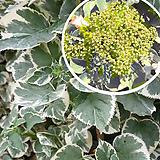 흰무늬등수국|Hydrangea macrophylla