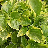 노랑무늬등수국|Hydrangea macrophylla