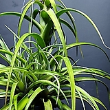플렉수오사 수입식물 공중식물 공기정화식물 259|