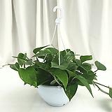 스킨답서스 공기정화식물 