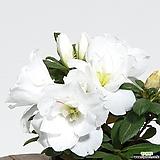 순백의 철쭉 청양 연산홍 아젤리아|