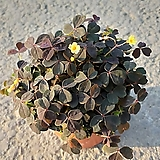쿠퍼글로우 사랑초 / 옥살리스실리쿠오사 (자주)|