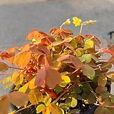 쿠퍼글로우 사랑초 / 옥살리스실리쿠오사 (골드)|