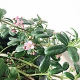지에리아(목대로자리잡아 튼튼한 아이)꽃이 아름다워요(수제분식재발송)|Handmade Flower pot