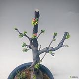 모과분재 모과나무 모과꽃 모과|