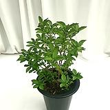 자스민 공기정화식물 