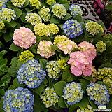 수국 특A  -034번 Hydrangea macrophylla