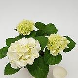 흰색수국|Hydrangea macrophylla