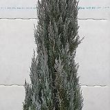문그로우(대형)/측백나무, [서울, 경기일부지역 무료배송]- 운임료 필히 참조|