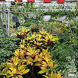 크로톤  아이스톤크로톤 Codiaeum Variegatum Blume Var Hookerianum