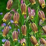 신종 희귀종 프리틸라리아(우바-블리스) 황제의 꽃 야생화 구근식물|