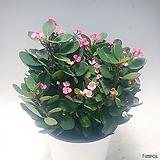 풍성~ 꽃기린(핑크)(중품)|