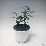 황금레몬(중품) 레몬나무 레몬트리 유실수 과실수 과일나무|