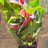 안시리움 / 안스륨 / 안시륨 (중대품)/최상품|Anthurium andraeaeanum