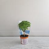 바질트리/공기정화식물/온누리 꽃농원