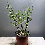 미스김라일락 라일락 소품 야생화 공기정화식물 29