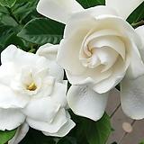 향기치자.하얀색의 예쁜꽃이 상큼한 향기가 너무 좋아요.. 