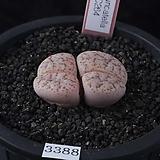 XP3388-LT. pseudotruncatella palliid form C264|