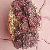 롱기시마3몸합식|Echeveria longissima